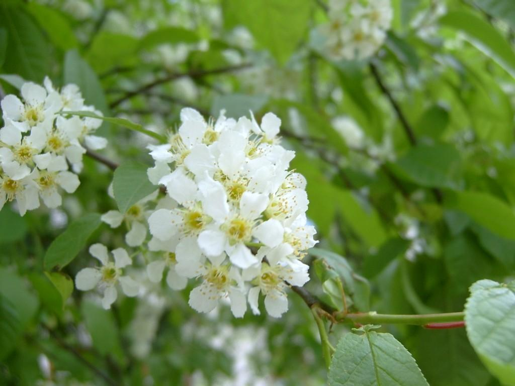 Шелковица мужские цветки